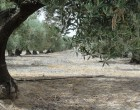 An old, gnarled olive grove