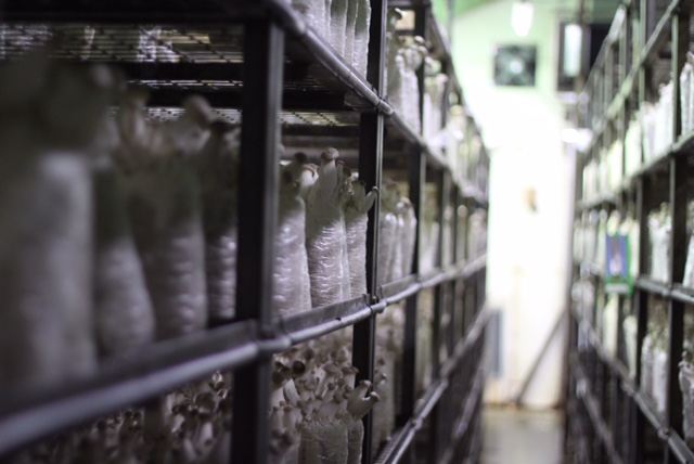 Mushroom on a log - grown without chemicals right here in Singapore - Changmoh blogger investigates