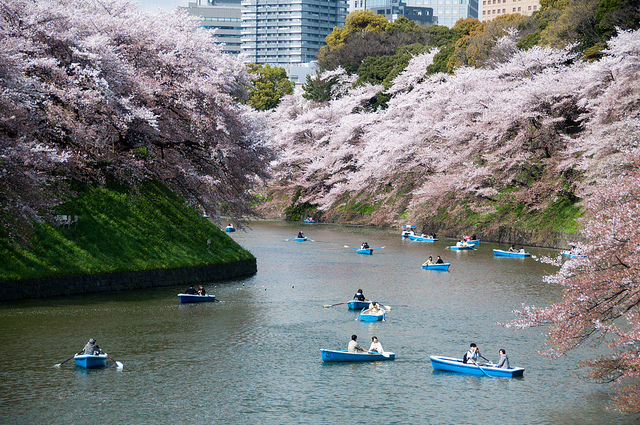 Banks of blossom in Tokyo